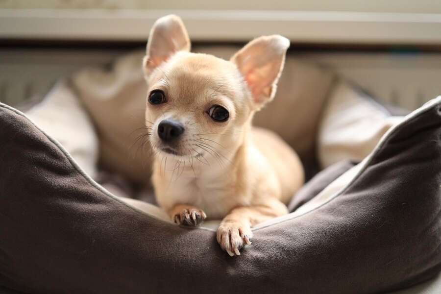 Couple Finds Pet Chihuahua in Luggage Right Before Boarding Their Flight