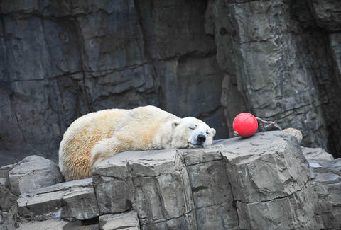 A polar bear sleeping