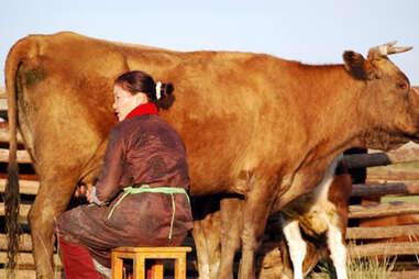 Mongolian woman milking a cow