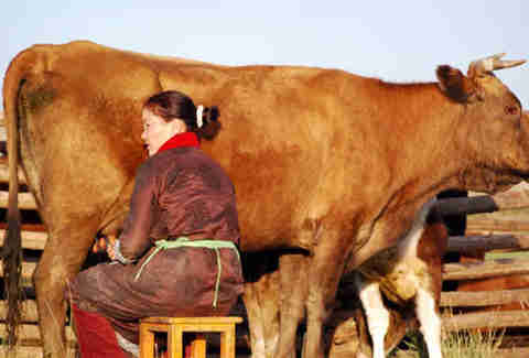 Mongolian woman milking a cow