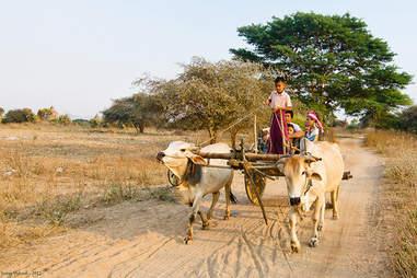 Boy driving an ox cart