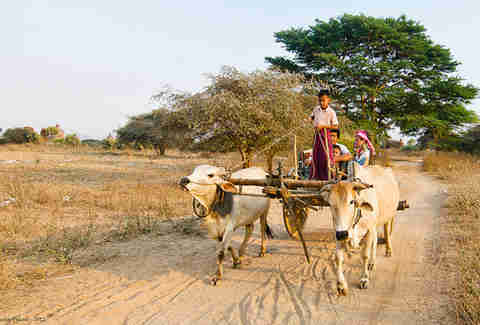 Boy driving an ox cart
