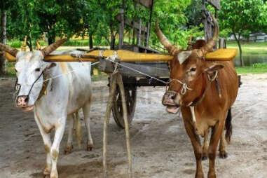 An ox cart