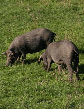 Kurlinger Farms\' Bacon-Fed-Bacon