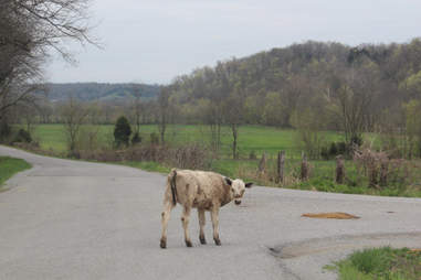 Cows blocking the road outside Loretto, KY.
