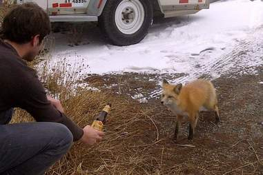 Shiner Bock Fox