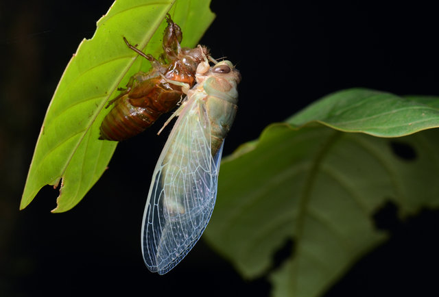 How to catch, kill, and cook cicadas