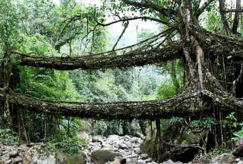 Living Bridges of Cherrapunji, India