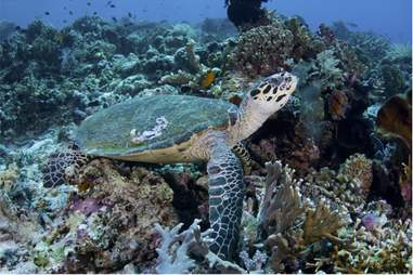 Silolona Phinisi Turtle