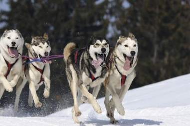 Husky dog sledding through the Siberian taiga