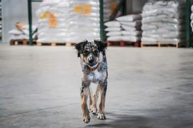 Kim Lutz's dog, Kaia at Saint Archer Brewery in San Diego.