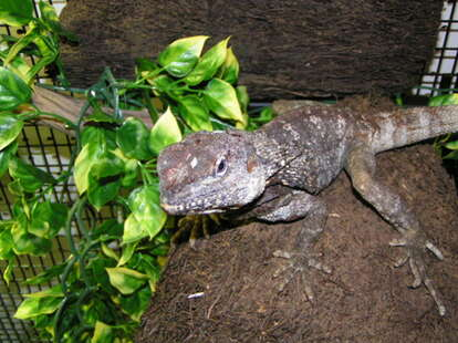 Lizard at The Tropical Hut