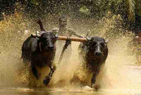 Bull surfing in Karala, India
