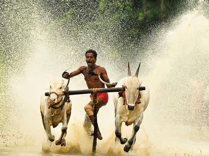 Bull surfing in Karala, India