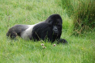 A Rwandan gorilla