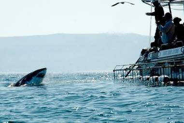 Cage diving with sharks off the coast of South Africa