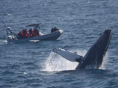 Whale breaching near Adventure RIB rides San Diego tour