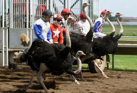 Ostrich racing