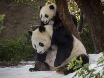 giant pandas san diego zoo