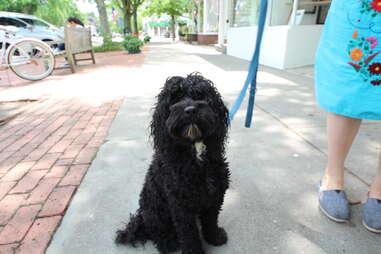 Albus, dog of the Hamptons