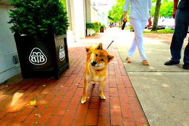Shiba Inu, dog of the Hamptons