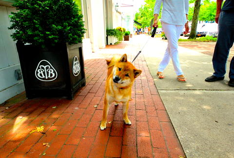Shiba Inu, dog of the Hamptons