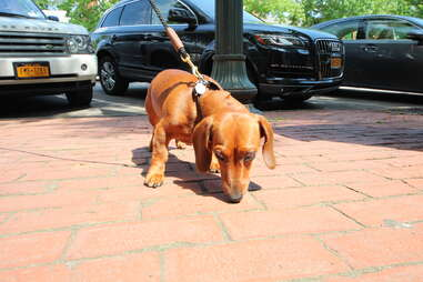 Schutze, dog of the Hamptons