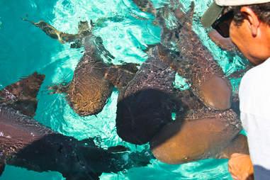 Swimming nurse sharks