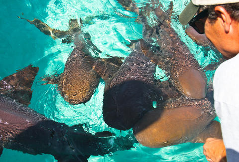 Swimming nurse sharks