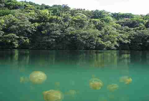 Go snorkeling in Jellyfish Lake in Palau, Indonesia