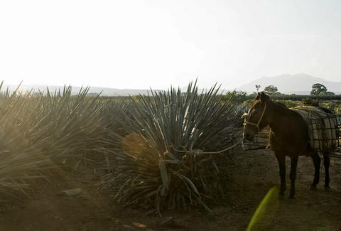 Agave fields in Jalisco
