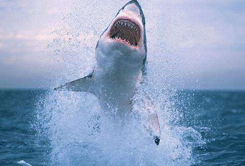 great white shark jumping
