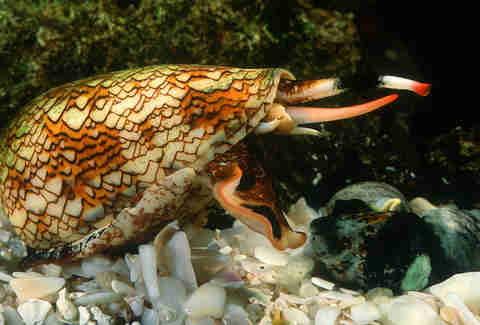 cone snail doing something gross