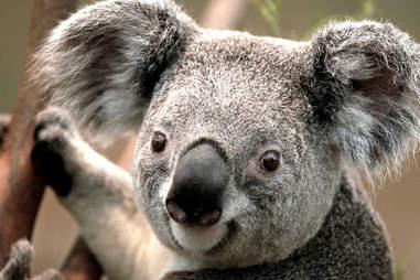koala being awesome